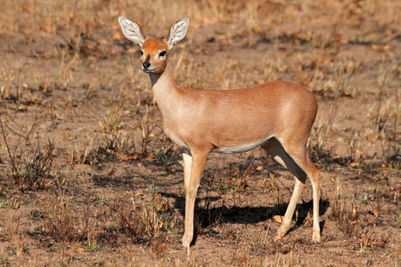 campestris: Female steenbok antelope Raphicerus campestris South Africa