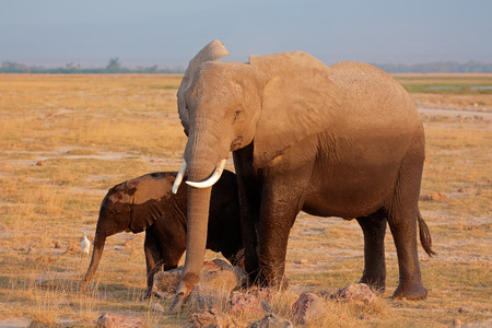 africana: African elephant Loxodonta africana cow with young calf Amboseli National Park Kenya