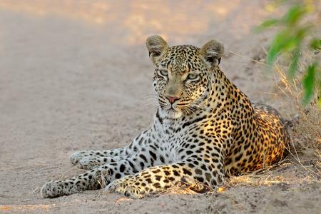 pardus: A female leopard Panthera pardus resting SabieSand nature reserve South Africa