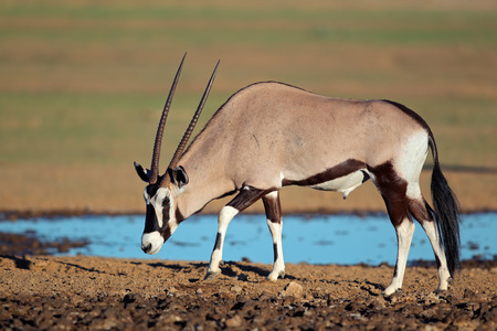 pozo de agua: Gemsbok antílopes Oryx gazella en una charca del desierto del Kalahari Sudáfrica