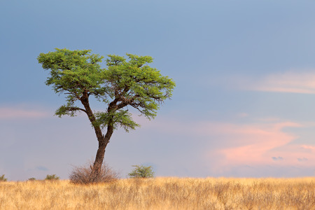 south africa: Landscape with a camelthorn Acacia tree Acacia erioloba Kalahari desert South Africa LANG_EVOIMAGES