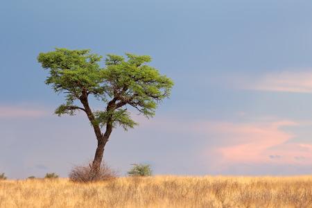 south africa nature: Landscape with a camelthorn Acacia tree Acacia erioloba Kalahari desert South Africa LANG_EVOIMAGES