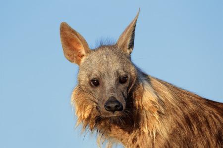 voracious: Portrait of a brown hyena Hyaena brunnea against a blue sky Kalahari desert South Africa Stock Photo
