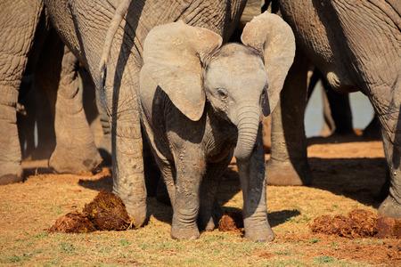 big5: A cute baby African elephant Loxodonta africana Addo Elephant National Park South Africa