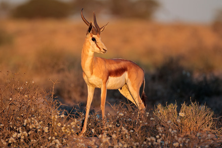 marsupialis: A springbok antelope (Antidorcas marsupialis) in late afternoon light, Kalahari desert, South Africa