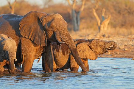 big5: African elephants Loxodonta africana drinking water Etosha National Park Namibia