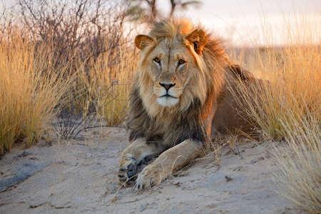LEONES: Gran macho Panthera leo León africano en la luz de la mañana del desierto de Kalahari en Sudáfrica