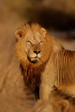 big5: Portrait of a big male African lion Panthera leo Kruger National Park South Africa Stock Photo