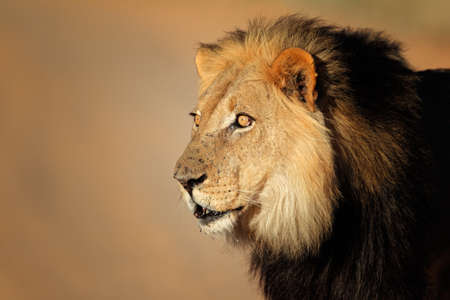 dangerous lion: Portrait of a big male African lion Panthera leo Kalahari desert South Africa