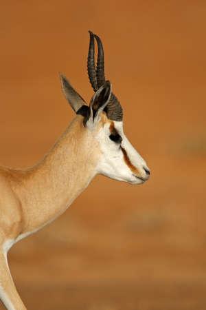 springbok: Portrait of springbok antelope Antidorcas marsupialis Kalahari desert South Africa Stock Photo