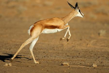 springbuck: A springbok antelope Antidorcas marsupialis in full flight Kgalagadi desert South Africa Stock Photo