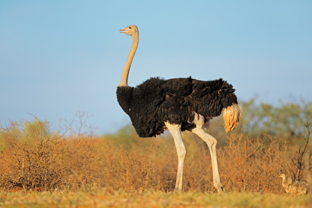 kalahari: Male ostrich Struthio camelus with chicks  Kalahari desert South Africa