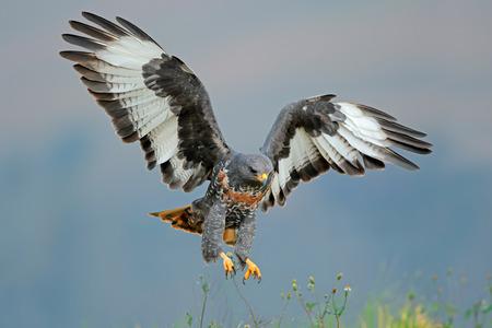 zopilote: Chacal ratonero Buteo rufofuscus aterrizaje con las alas extendidas Sudáfrica
