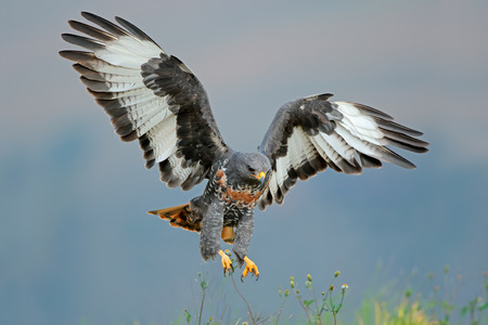 buzzard: Jackal buzzard Buteo rufofuscus landing with outstretched wings South Africa LANG_EVOIMAGES