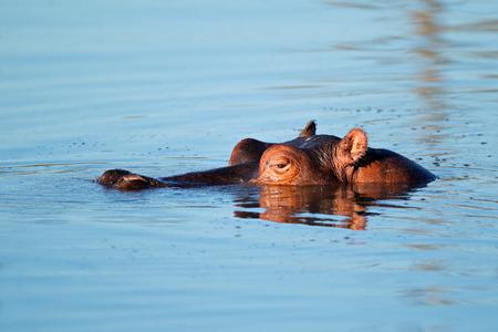 sumergido: Hipop�tamo Hippopotamus amphibius sumergido en agua Sud�frica Foto de archivo