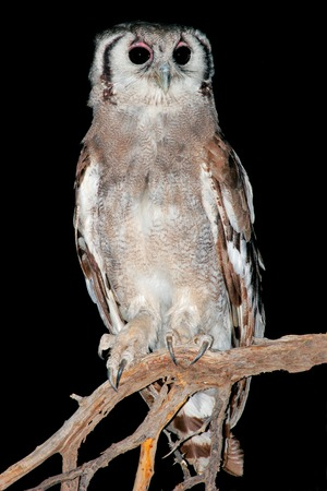 nocturnal: Nocturnal Giant eagle owl Bubo lacteus perched on a branch South Africa