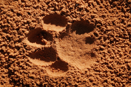 animal tracks: Imprint of the paw of a mature lion Panthera leo in soft sand South Africa Stock Photo