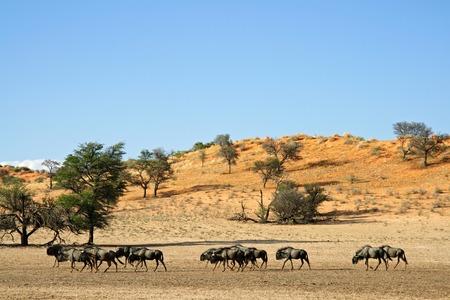 taurinus: Blue wildebeest Connochaetes taurinus walking in a dry riverbed Kalahari desert South Africa Stock Photo