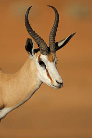 kalahari: Portrait of springbok antelope Antidorcas marsupialis Kalahari desert South Africa Stock Photo