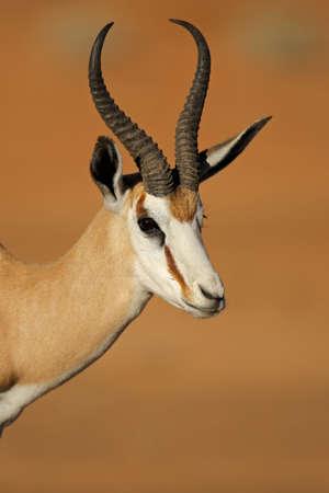 springbuck: Portrait of springbok antelope Antidorcas marsupialis Kalahari desert South Africa Stock Photo