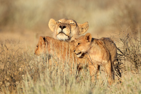 kalahari: Lioness with young lion cubs Panthera leo Kalahari desert South Africa