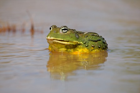 bullfrog: Male African giant bullfrog Pyxicephalus adspersus in shallow water South Africa
