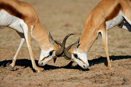 marsupialis: Two male springbok antelopes Antidorcas marsupialis fighting for territory Kalahari desert South Africa