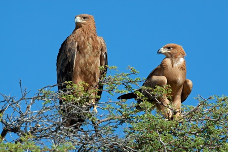 tawny: A pair of tawny eagles Aquila rapax perched on top of a tree South Africa