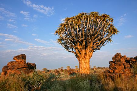 dichotoma: Desert landscape with a quiver tree Aloe dichotoma and granite rocks Namibia