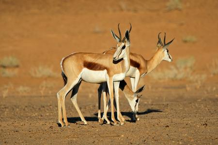 springbok: Springbok antelopes Antidorcas marsupialis Kalahari desert South Africa Stock Photo