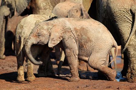 big5: A cute baby African elephant Loxodonta africana, Addo Elephant National Park, South Africa