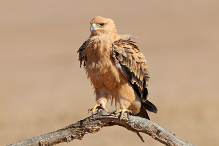 kalahari: A tawny eagle Aquila rapax perched on a branch, Kalahari desert, South Africa