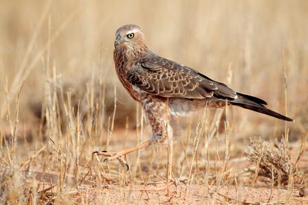 chanting: Immature Pale Chanting goshawk Melierax canorus, Kalahari desert, South Africa