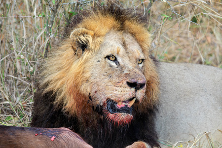 carnivores: Big male African lion Panthera leo guarding his prey, South Africa