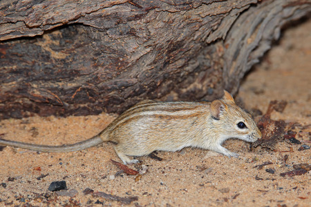 diminutive: A striped mouse Rhabdomys pumilio in natural environment, South Africa