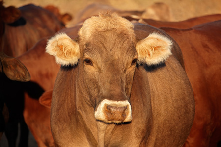 beast ranch: Portrait of a cow in late afternoon light