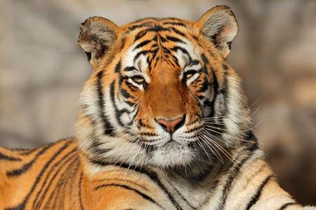 panthera tigris: Portrait of a Bengal tiger (Panthera tigris bengalensis)