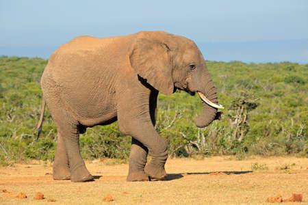 elefante: Toro grande del elefante africano Loxodonta africana, el Parque Nacional Addo Elephant, Sudáfrica