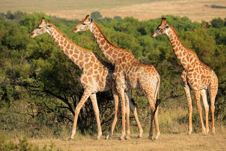 south: Giraffes Giraffa camelopardalis in natural habitat, South Africa Stock Photo