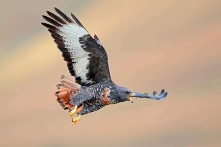 buzzard: Jackal buzzard Buteo rufofuscus in flight with outstretched wings, South Africa