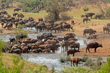 Large herd of African buffaloes Syncerus caffer at a river, Kruger National Park, South Africa