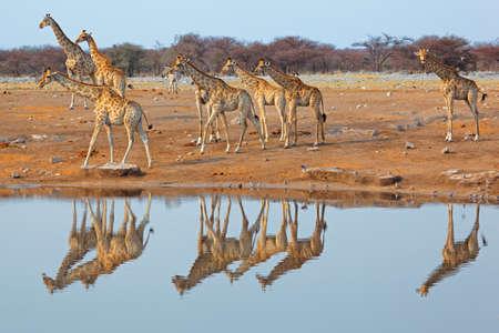 jirafa: Jirafa manada jirafa en una charca, el Parque Nacional de Etosha, Namibia Foto de archivo