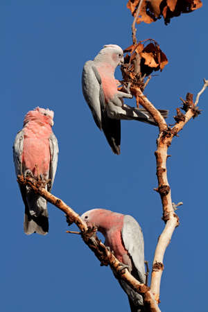 cockatoos: Galah Cockatoos (Cacatua roseicapilla), Kakadu National Park, Northern territory, Australia  Stock Photo