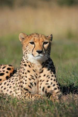 cheetah: Cheetah (Acinonyx jubatus) tumbado en la hierba, Sud�frica