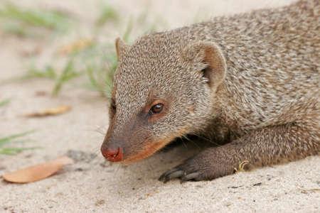 zimbabwe: Banded mongoose (Mungos mungo), Hwange National Park, Zimbabwe, southern Africa