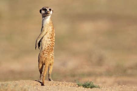 suricatta: Alert meerkat (Suricata suricatta) standing on guard, Kalahari desert, South Africa