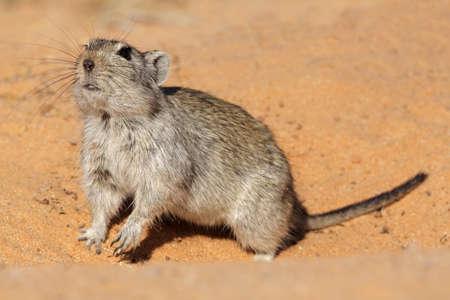 kalahari desert: Alert whistling rat (Parotomys brantsii), Kalahari desert, South Africa