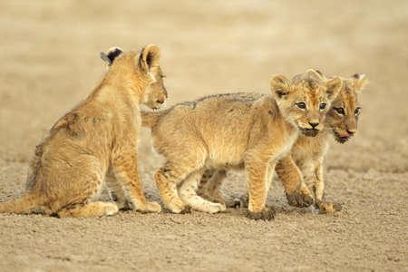 cubs: Three cute lions cubs (Panthera leo), Kalahari desert, South Africa