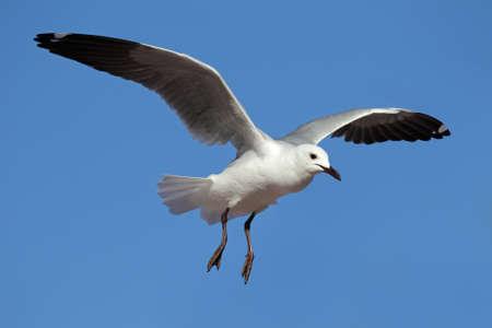 larus: A Hartlaubs gull (Larus hartlaubii) in flight, South Africa