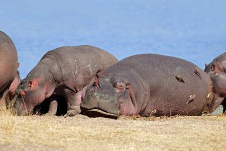 hippopotamus: Los hipop�tamos (Hippopotamus amphibius) con aves oxpecker, Sabie-Sand reserva natural, �frica del Sur